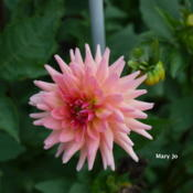 Location: Clinton, Michigan 49236Date: 2013-12-09Dahlia 'Mary Jo'  Type(SC) Color(PK) Class(4204)  Year(