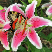 Location: My GardensDate: July 19, 2011Believed To Be Star Gazer #Pollination & #Butterflies