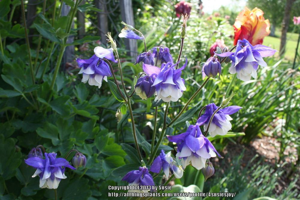 Photo of Columbine (Aquilegia vulgaris 'Pretty Bonnets') uploaded by 4susiesjoy