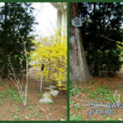 Location: Courtyard JI gardenDate: 2008-0411Pruned: collage shows before and after pruning.