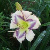 Location: Belmont gardenDate: 2010-0623Daylily leaves are covered in sap, not diseased.
