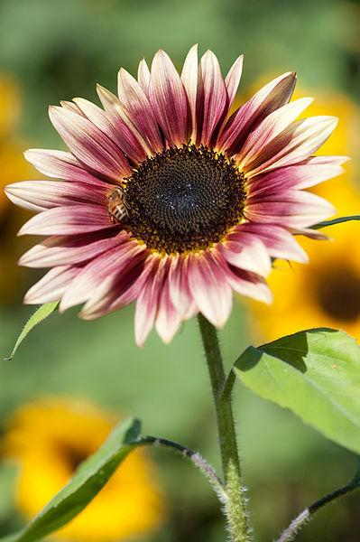Photo of Sunflower (Helianthus annuus 'Strawberry Blonde') uploaded by robertduval14