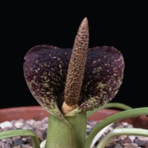 Photo by Royal Botanic Gardens, Kew; eMonocot Team Eminium CATE A