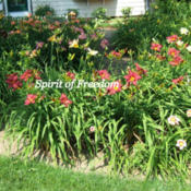 Location: Porch gardenDate: 2008-0708Many clumps of Spirit of Freedom.