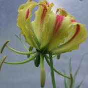 Location: Vancouver Island, B.C.Date: 2013-07-20Gloriosa superba 'Rothschildiana'