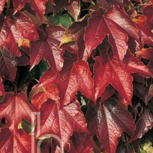 boston ivy parthenocissus tricuspidata 39 veitchii robusta 39. Black Bedroom Furniture Sets. Home Design Ideas