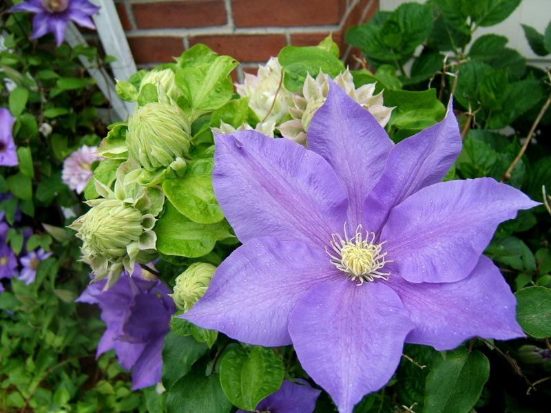 Photo of Clematis 'H.F. Young' uploaded by pirl