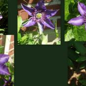 Location: Fireplace garden - more shade than sunDate: variousThe many faces of Multi Blue.