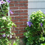 Location: Fireplace garden - more shade than sunDate: 2012-0513Right side of trellis and growing into the hydrangea.
