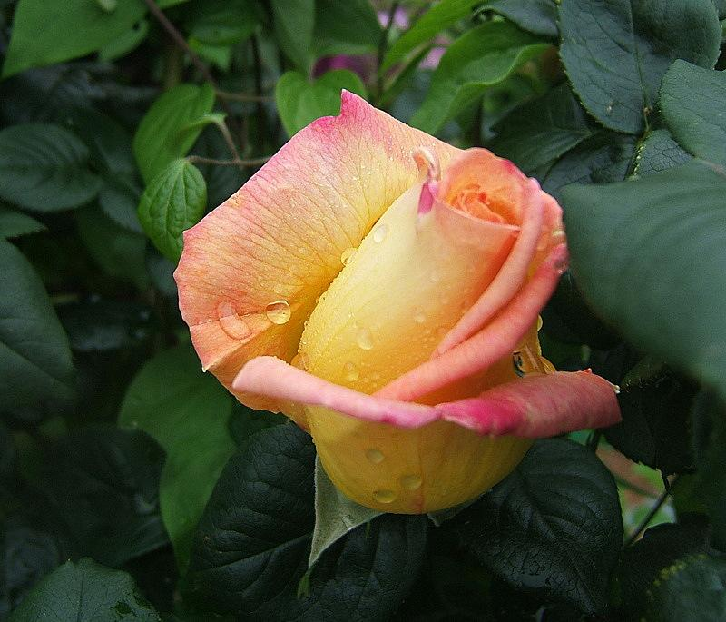 Photo of Rose (Rosa 'Peace') uploaded by pirl