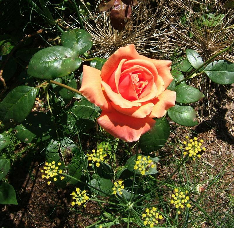 Photo of Rose (Rosa 'Royal Sunset') uploaded by pirl