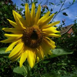 Annual Sunflowers Are Pretty and Easy To Grow