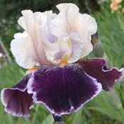 Location: IndianaDate: MayTall bearded iris 'Liaison'
