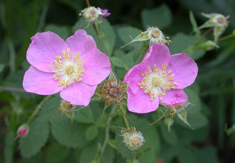 Photo of California Wild Rose (Rosa californica) uploaded by robertduval14