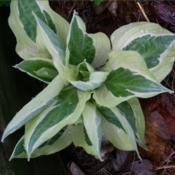 Location: IndianaDate: MayHosta 'Hanky Panky'