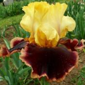 Location: IndianaDate: MayTall bearded iris 'Ruling Lord'