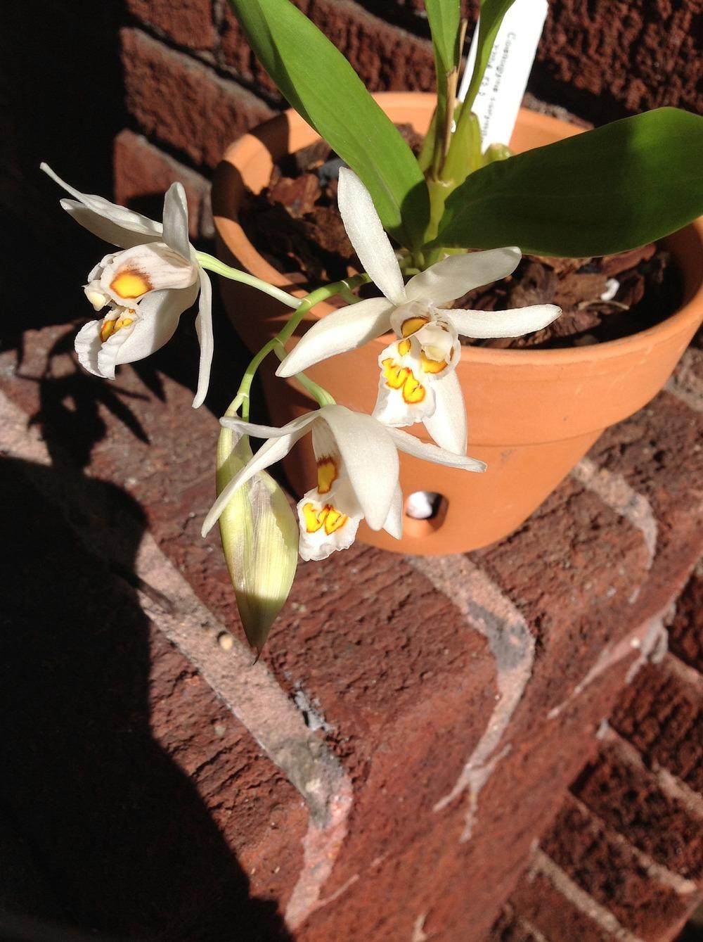 Photo of Orchid (Coelogyne corymbosa) uploaded by 901Bertwood
