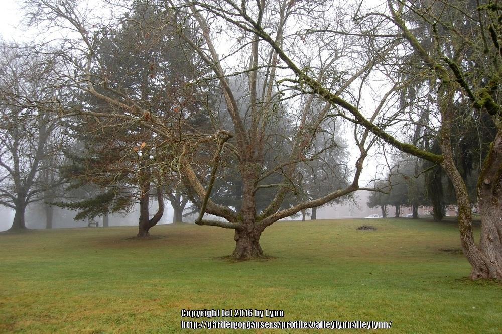 Photo of American Sycamore (Platanus occidentalis) uploaded by valleylynn