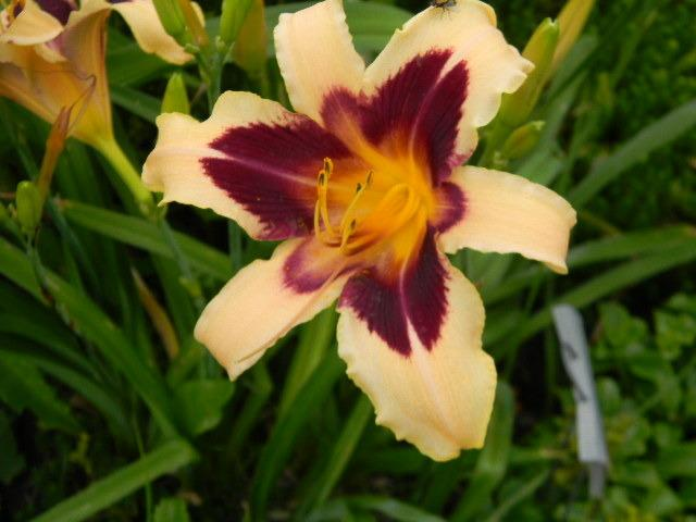 Photo of Daylily (Hemerocallis 'Wild Horses') uploaded by LilySue