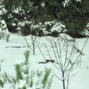 Location: Photo taken in my garden after a snow fall.Date: 2012-11-27