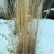 Location: Photo taken in my garden after a snow.Date: 2012-01-27This grass stands up even after a heavy wet snow.