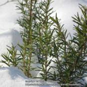 Location: A close look at the foliage in the snow.Date: 2013-01-02