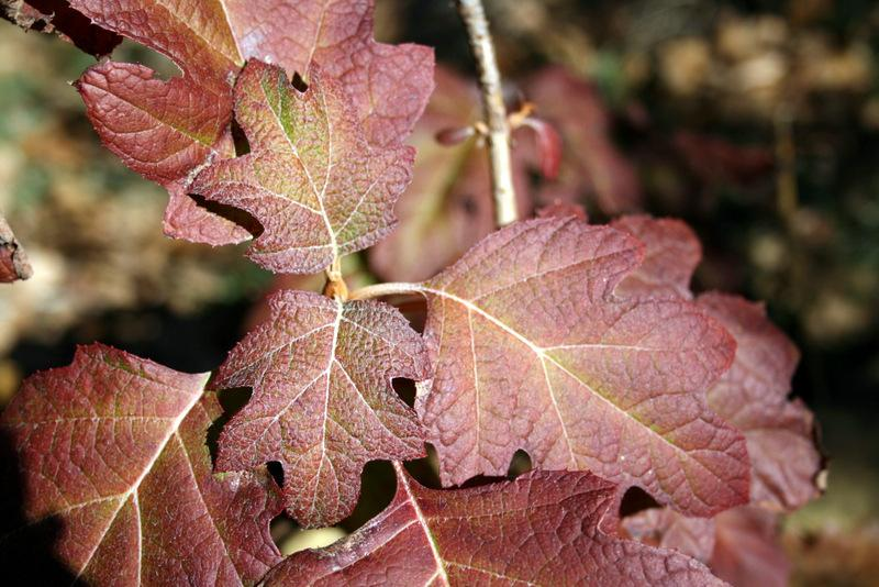 Photo of Golden Oakleaf Hydrangea (Hydrangea quercifolia 'Little Honey') uploaded by Calif_Sue