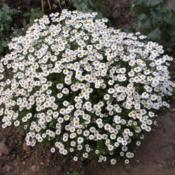 Location: Garden 2Date: 2013-07-15Thousands of daisies hung together on dome shaped perfumed leaves