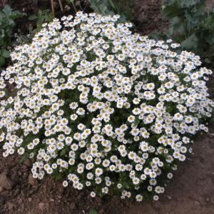 Thousands of daisies hung together on dome shaped perfumed leaves