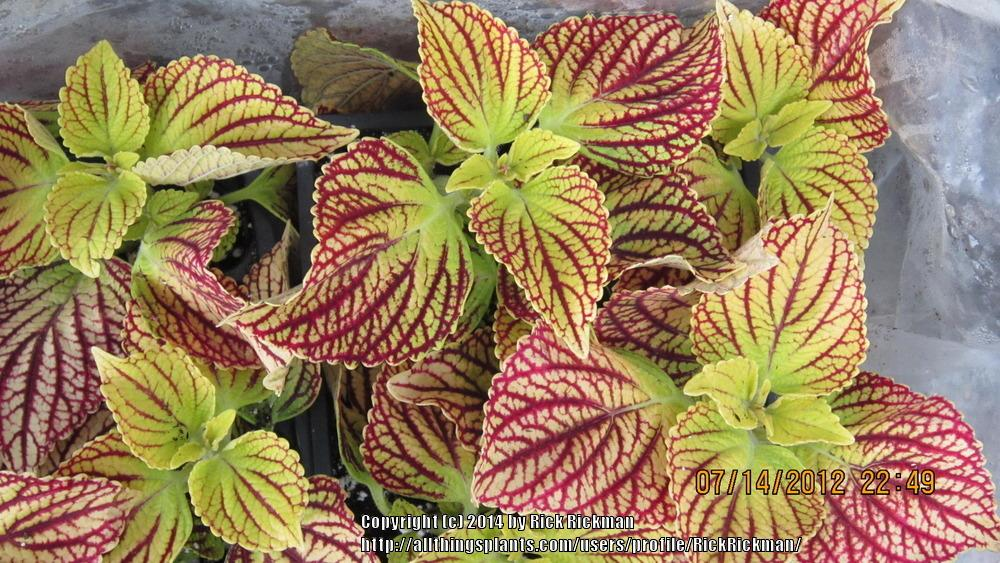 Coleus Plant Care And Collection Of Varieties