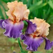 Location: Southeast IndianaDate: MayTall bearded iris 'Broken Heart'