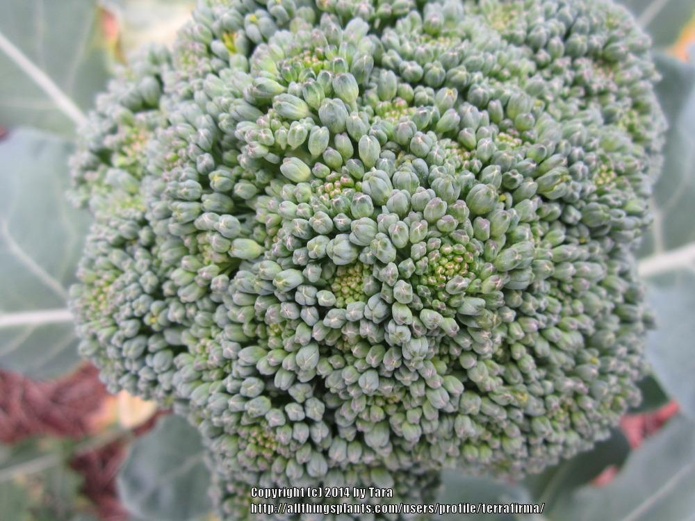Photo of Broccoli (Brassica oleracea 'Packman') uploaded by terrafirma