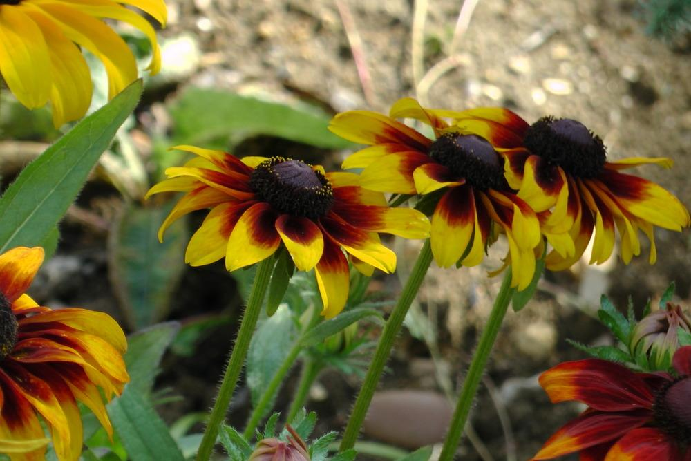 Photo of Black Eyed Susans (Rudbeckia) uploaded by Alya