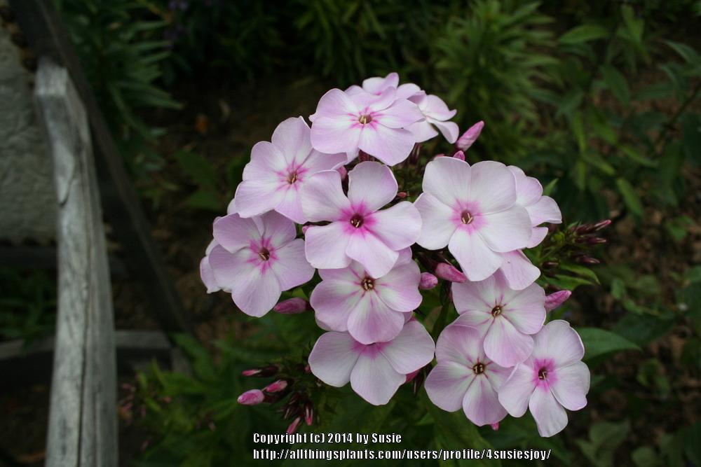 Photo of Garden Phlox (Phlox paniculata Flame™ Light Pink) uploaded by 4susiesjoy