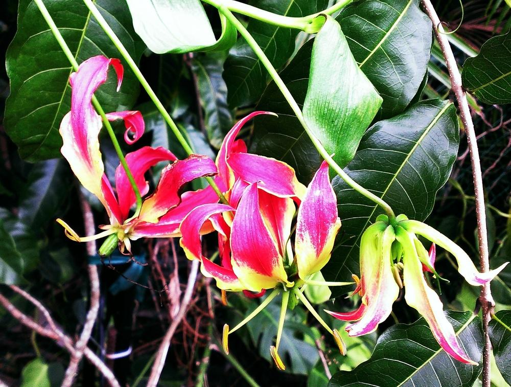 Photo of Gloriosa Lily (Gloriosa superba) uploaded by Dutchlady1