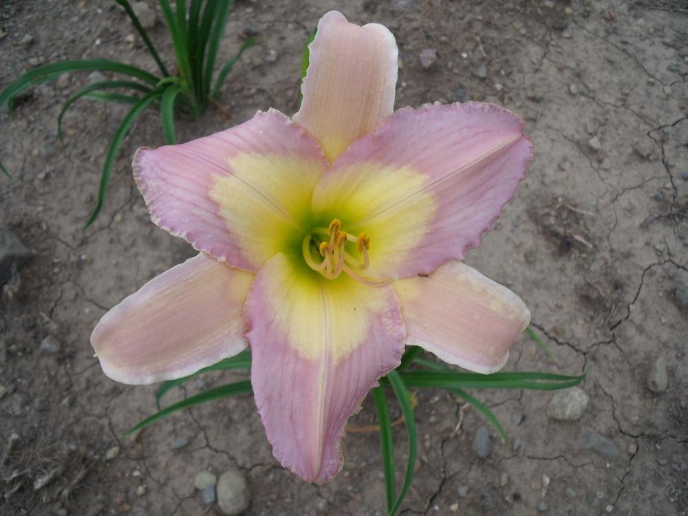 Photo of Daylily (Hemerocallis 'Nile Crane') uploaded by Guybo
