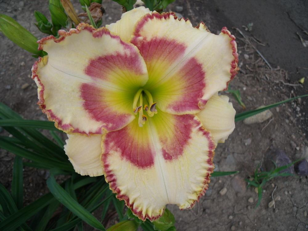 Photo of Daylily (Hemerocallis 'Lady Betty Fretz') uploaded by Guybo