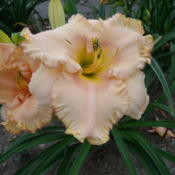 Location: Dreamy Daylilies - Chatham-Kent, Ontario   5bDate: 2013-07-22