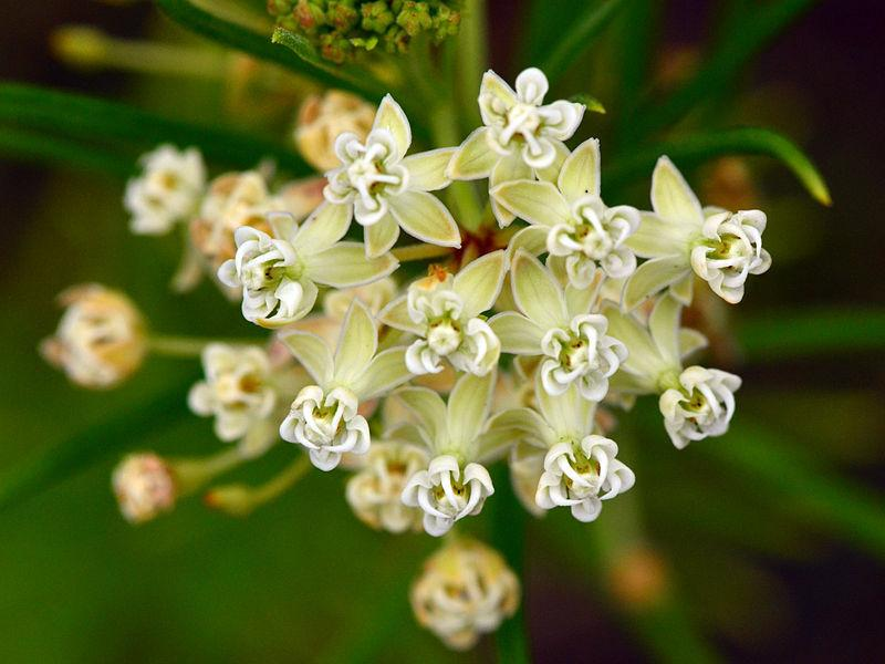 Photo of Whorled Milkweed (Asclepias verticillata) uploaded by robertduval14