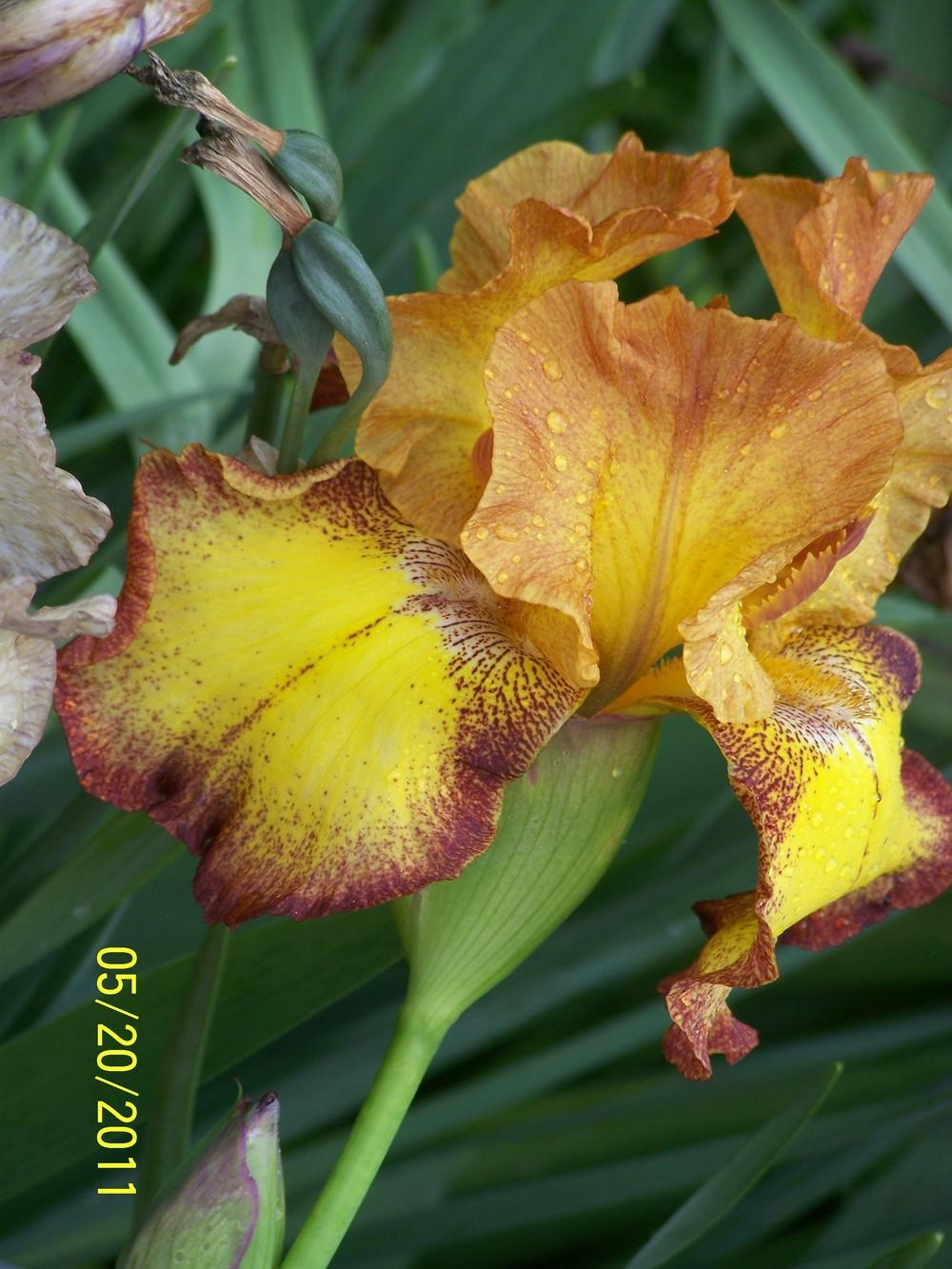 Photo of Tall Bearded Iris (Iris 'Atomic Flame') uploaded by Misawa77