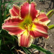 Location: Dreamy Daylilies - Chatham-Kent, Ontario   5bDate: 2013-07-17