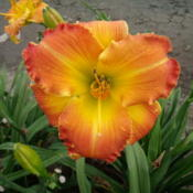 Location: Dreamy Daylilies - Chatham-Kent, Ontario   5bDate: 2013-08-03