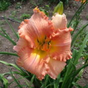 Location: Dreamy Daylilies - Chatham-Kent, Ontario   5bDate: 2013-07-15