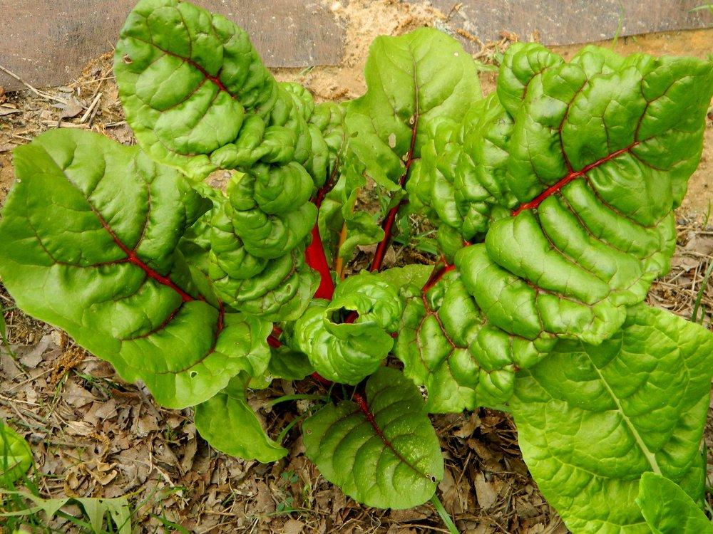 Photo of Swiss Chard (Beta vulgaris subsp. cicla 'Bright Lights') uploaded by wildflowers