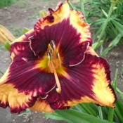 Location: Dreamy Daylilies - Chatham-Kent, Ontario   5bDate: 2013-07-07
