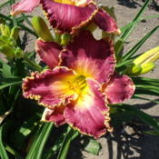 Location: Dreamy Daylilies - Chatham-Kent, Ontario   5bDate: 2013-07-18