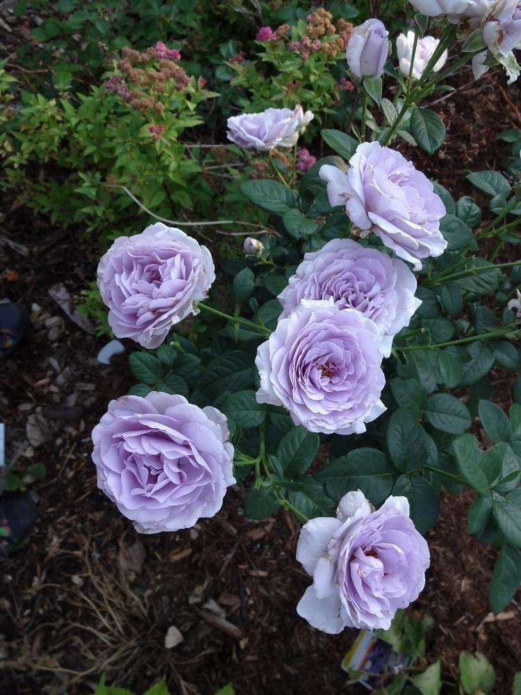 Roses In Garden: Where, Oh Where Are The Blue Roses?