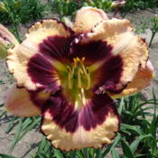 Location: Dreamy Daylilies - Chatham-Kent, Ontario   5bDate: 2013-07-03