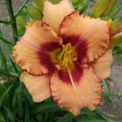 Location: Dreamy Daylilies - Chatham-Kent, Ontario   5bDate: 2013-07-06