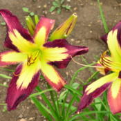 Location: Dreamy Daylilies - Chatham-Kent, Ontario   5bDate: 2013-06-29